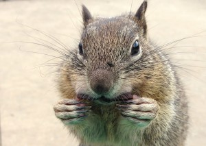 Squirrel cramming food in his mouth